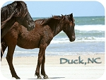 Duck North Carolina with Horses Fridge Magnet