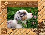 Mini Australian Shepherd Laser Engraved Wood Picture Frame