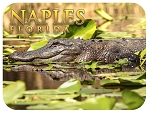 Naples Florida with Alligator Fridge Magnet